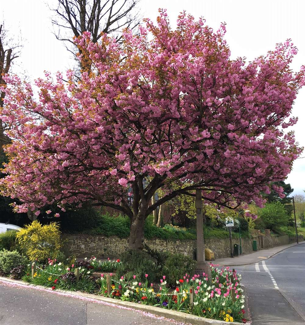 Beautiful Cherry Blossom Brightens Village